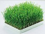 wheatgrass, toxins, body detox, liver detox